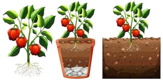 Conjunto de planta de pimiento con raíces aislado en blanco