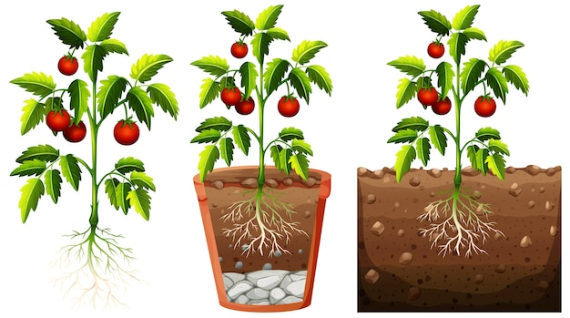 Conjunto de planta de tomates con raíces aisladas sobre fondo blanco.