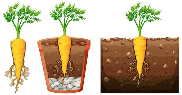 Conjunto de planta de zanahoria con hojas aisladas sobre fondo blanco.