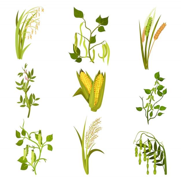 Conjunto de plantas de cereales y legumbres. cultivo agrícola. diferentes tipos de frijoles y granos.