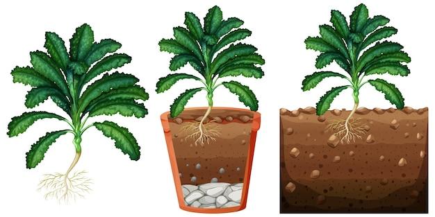 Conjunto de plantas de col rizada