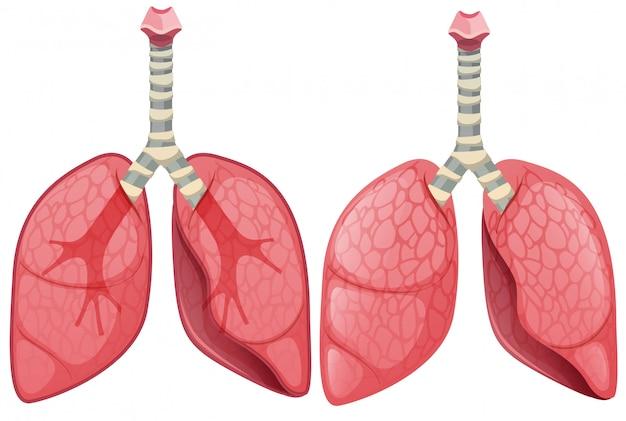 Un conjunto de pulmón humano
