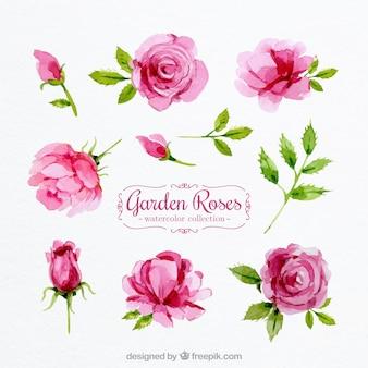 Conjunto de rosas de acuarela