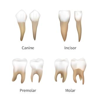 Conjunto de tipos de dientes humanos realistas en blanco
