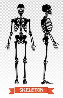 Conjunto transparente esqueleto humano
