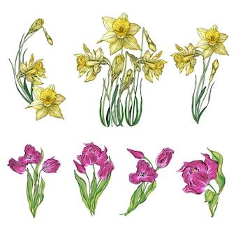 Conjunto de vectores de flores de tulipán y narciso