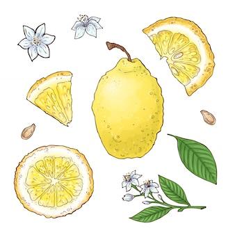Conjunto de vectores de frutas de limón