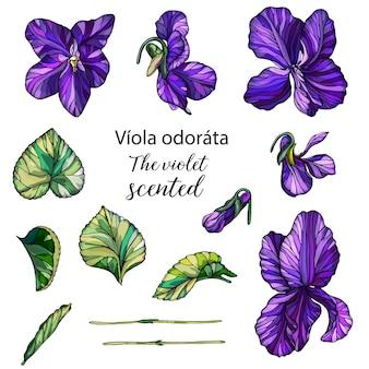Conjunto de vectores de violetas florales