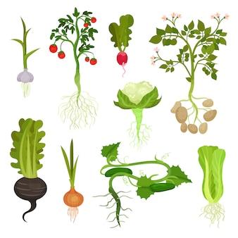 Conjunto de verduras con raíces. comida orgánica y saludable. productos agrícolas naturales. plantas cultivadas