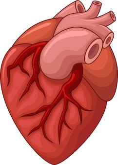 Corazón humano aislado