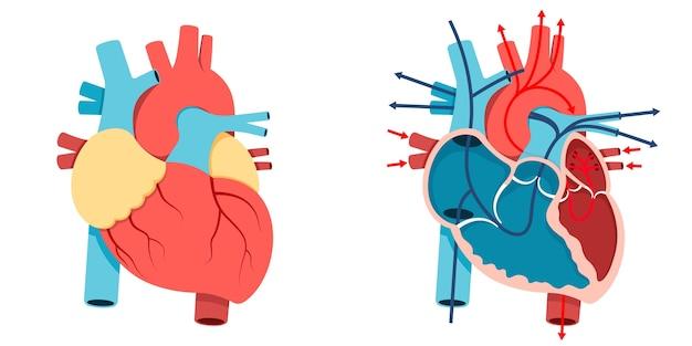 Corazón humano y flujo sanguíneo