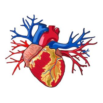 Corazón humano. ilustración vectorial sobre fondo blanco.