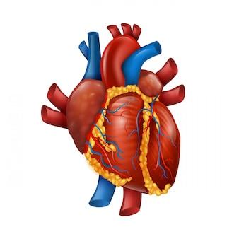 Corazón humano realista 3d sano
