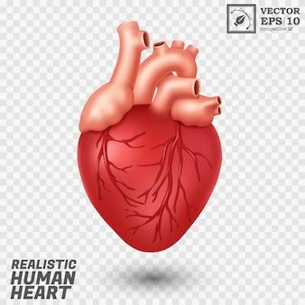 Corazón humano realista