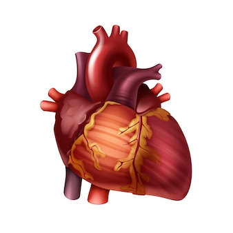 Corazón humano rojo sano con arterias cerrar vista frontal aislado sobre fondo blanco.