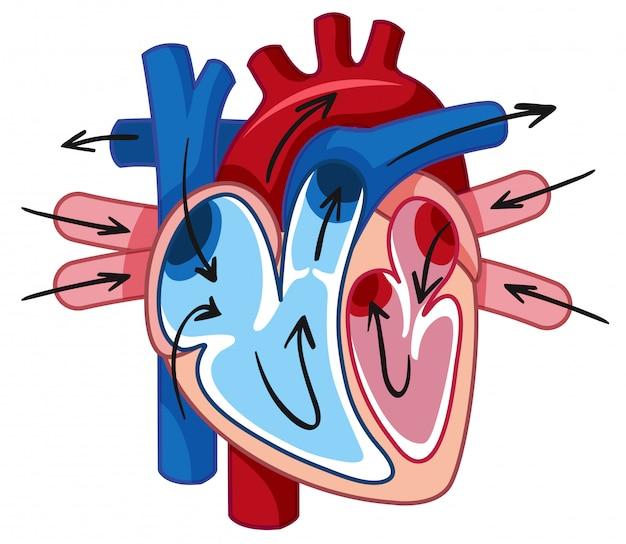 Corazón humano y vaso sanguíneo