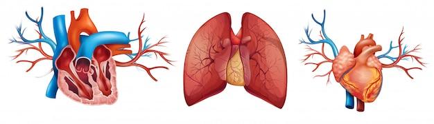 Corazón y pulmones humanos
