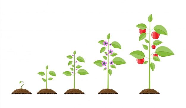 Crecimiento de la planta, desde el brote hasta el fruto.