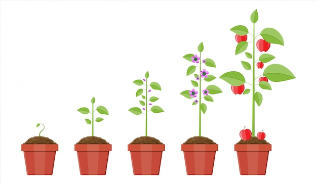 Crecimiento de la planta en maceta, desde el brote hasta el fruto.