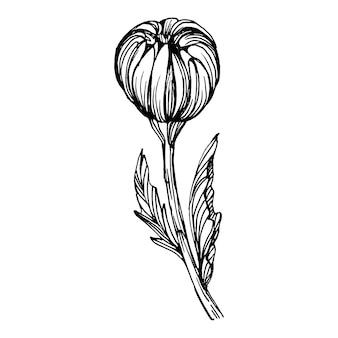 Crisantemo a mano dibujo. ilustración de grabado antiguo de época.