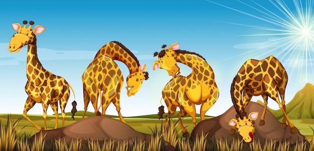 Cuatro jirafas en el campo.