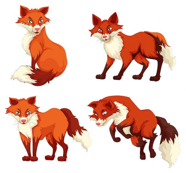 Cuatro zorros con piel roja