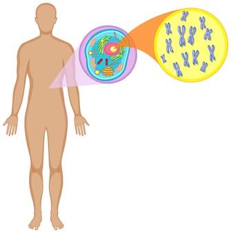 Cuerpo humano y célula animal.