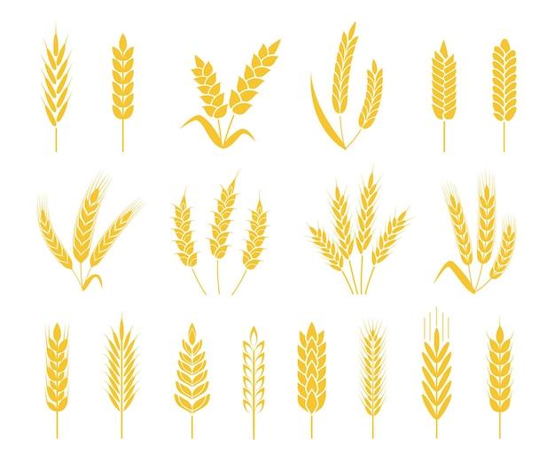 Cultivos de arroz o cebada gavilla de espiga de trigo, granos y cereales conjunto de vectores de iconos