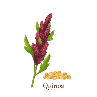 Cultivos de cereales de pasto de quinua, planta agrícola
