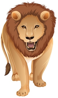 Delante del león adulto en posición de pie sobre fondo blanco.