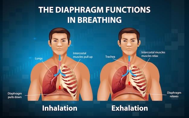 El diafragma funciona en la respiración.
