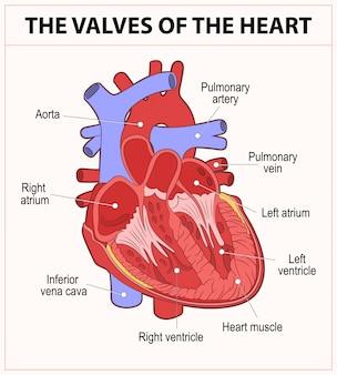 Diagrama de la anatomía del corazón humano.