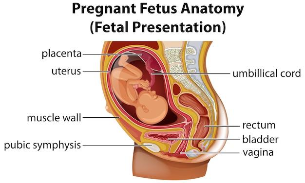 Diagrama de anatomía del feto embarazada
