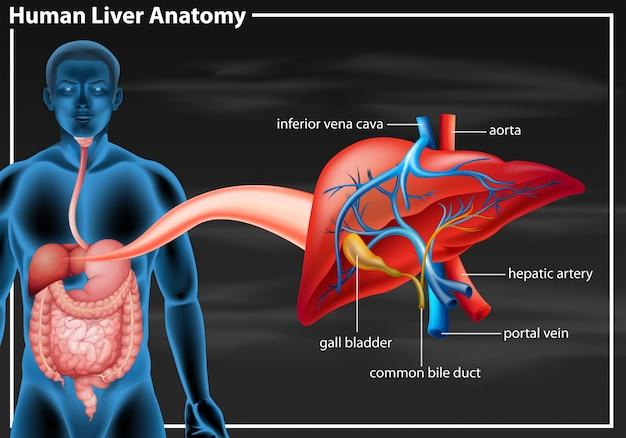 Diagrama de anatomía del hígado humano