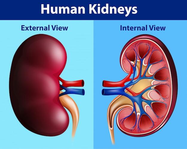 Diagrama de anatomía humana con riñones