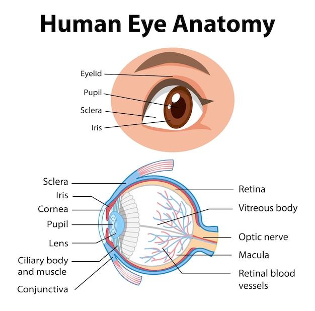Diagrama de la anatomía del ojo humano con etiqueta.