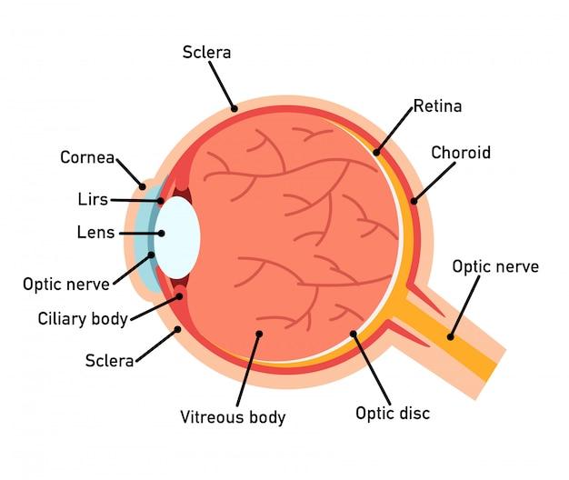 Diagrama de anatomía del ojo.