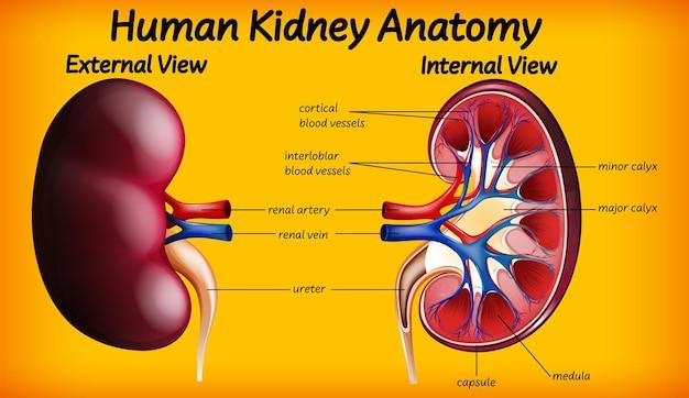 Diagrama de anatomía del riñón humano