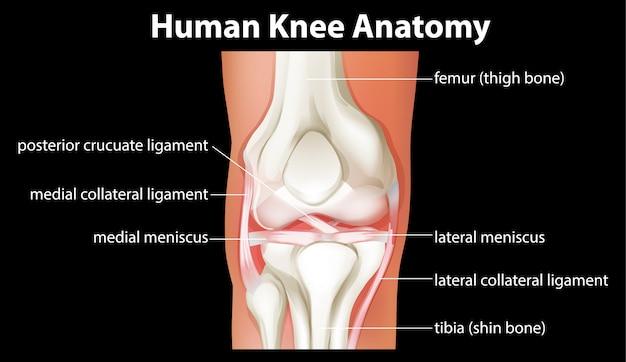 Diagrama de anatomía de la rodilla humana
