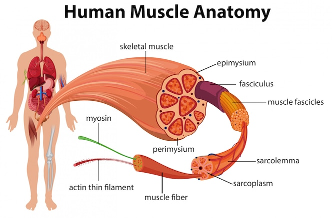 Diagrama de anatomía muscular humana