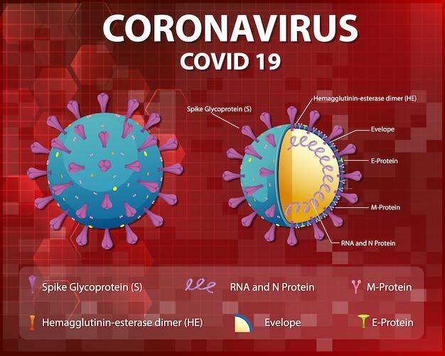 Diagrama de la estructura de las partículas del virus corona