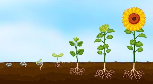 Diagrama de las etapas de crecimiento de las plantas.