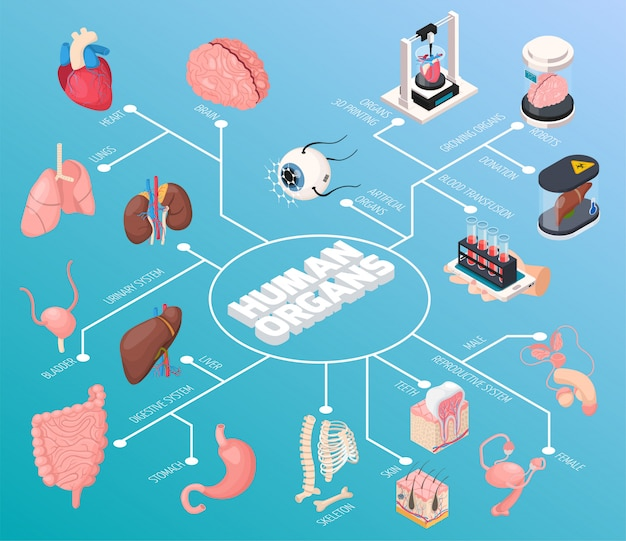 El diagrama de flujo isométrico de órganos humanos demostró órganos internos masculinos y femeninos y también la donación de transfusiones de sangre
