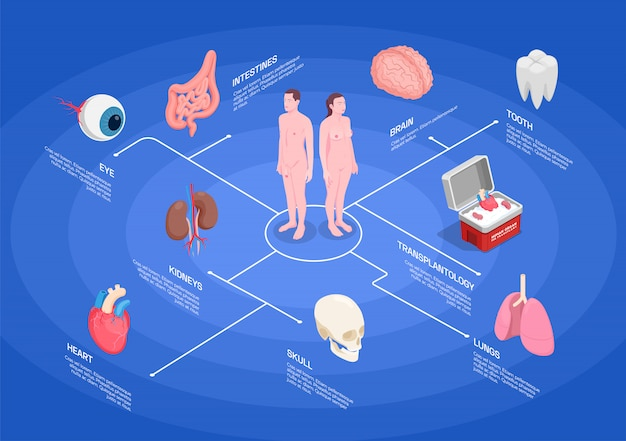 Diagrama de flujo isométrico de órganos humanos con riñones corazón ojo pulmones diente cerebro sobre fondo azul 3d