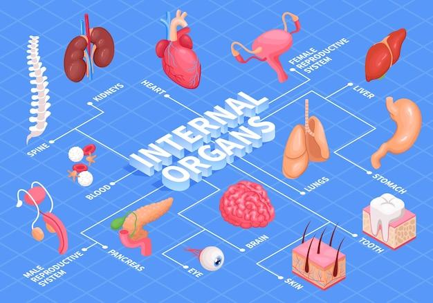 Diagrama de flujo de órganos humanos con ilustración isométrica de corazón, hígado y riñones