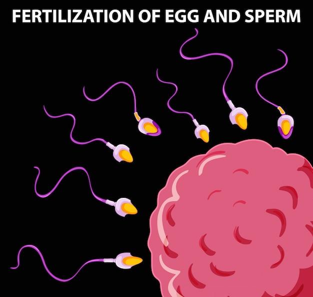 Diagrama mostrando la fertilización del óvulo y el esperma