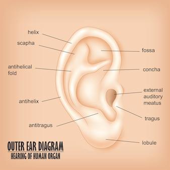 Diagrama del oído externo, audición del órgano humano