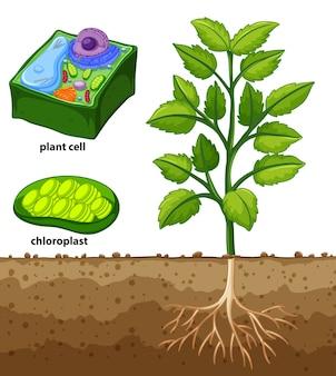 Diagrama que muestra la célula vegetal y el árbol en el suelo