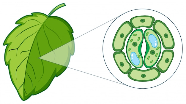 Diagrama que muestra la célula vegetal de la hoja