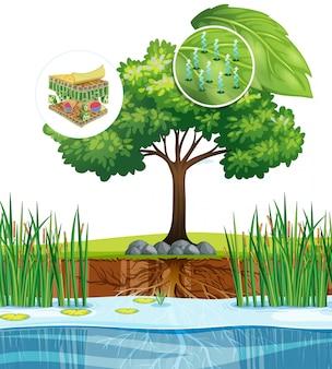 Diagrama que muestra cerca de la célula vegetal de un árbol